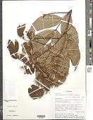 view Inga nobilis subsp. nobilis digital asset number 1