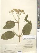 view Clibadium surinamense L. digital asset number 1