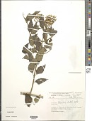 view Chromolaena odorata (L.) R.M. King & H. Rob. digital asset number 1