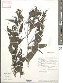 view Neurolaena lobata (L.) R. Br. ex Cass. digital asset number 1