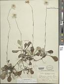 view Antennaria plantaginifolia (L.) Richardson digital asset number 1