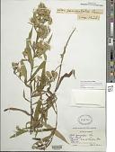 view Symphyotrichum lanceolatum (Willd.) G.L. Nesom digital asset number 1