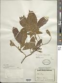 view Ectocarpus fasciculatus Harv. digital asset number 1