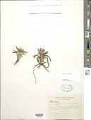 view Werneria nubigena Kunth in H.B.K. digital asset number 1