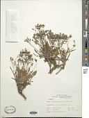 view Crepis sp. digital asset number 1