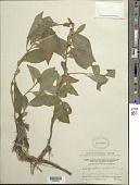 view Struchium sparganophorum (L.) Kuntze digital asset number 1
