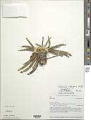 view Werneria rubigena Kunth digital asset number 1