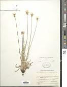 view Agoseris aurantiaca var. purpurea (A. Gray) Cronq. digital asset number 1