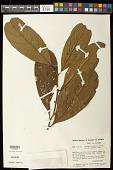 view Casearia negrensis digital asset number 1