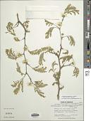 view Chloroleucon mangense var. vincentis (Benth.) Barneby & J.W. Grimes digital asset number 1