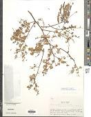 view Senegalia polyphylla (DC.) Britton & Rose digital asset number 1