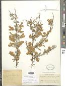 view Senegalia greggii (A. Gray) Britton & Rose digital asset number 1