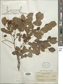 view Abarema brachystachya (DC.) Barneby & J.W. Grimes digital asset number 1