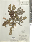 view Abarema jupunba var. trapezifolia (Vahl) Barneby & J.W. Grimes digital asset number 1