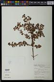 view Comolia ovalifolia Triana digital asset number 1