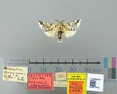 view Cerura argynnis Schaus, 1901 digital asset number 1