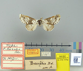 view Dicranoura borealis Boisduval, 1829 digital asset number 1