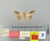 view Rifargia indecora Schaus, 1906 digital asset number 1