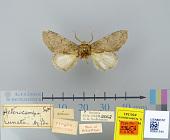 view Heterocampa lunata Edwards, 1884 digital asset number 1