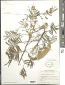 view Senegalia berlandieri (Benth.) Britton & Rose digital asset number 1