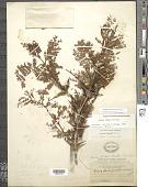 view Vachellia hindsii (Benth.) Seigler & Ebinger digital asset number 1
