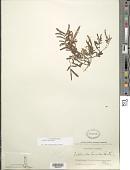 view Calliandra humilis Benth. digital asset number 1
