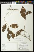 view Eugenia coffeifolia DC. digital asset number 1