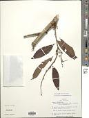 view Zygia longifolia (Willd.) Britton & Rose digital asset number 1