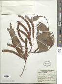 view Acacia bancrofti Maiden digital asset number 1