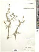 view Senegalia senegal (L.) Britton digital asset number 1