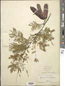 view Lysiloma microphyllum Benth. digital asset number 1