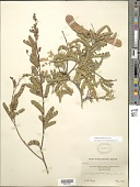 view Senegalia micrantha Britton & Rose digital asset number 1