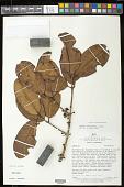 view Eugenia tapacumensis O. Berg digital asset number 1