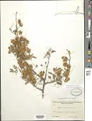 view Senegalia occidentalis (Rose) Britton & Rose digital asset number 1