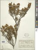 view Acacia pilligaensis Maiden digital asset number 1