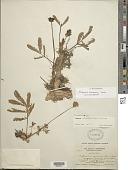 view Neptunia oleracea Lour. digital asset number 1