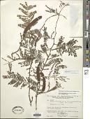 view Vachellia macracantha (Humb. & Bonpl. ex Willd.) Seigler & Ebinger digital asset number 1