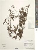 view Mimosa pudica var. tetrandra L. digital asset number 1