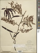 view Leucaena pallida Britton & Rose digital asset number 1