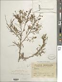view Mimosa eurycarpa B.L. Rob. digital asset number 1