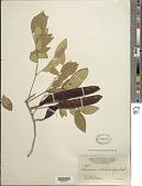 view Leucaena trichodes (Jacq.) Benth. digital asset number 1