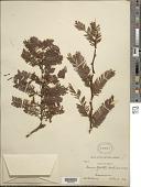 view Mimosa galeottii Benth. digital asset number 1