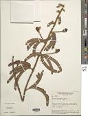 view Mimosa macrocephala Benth. digital asset number 1