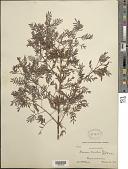view Mimosa caerulea Rose digital asset number 1