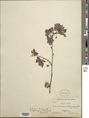 view Mimosa albida Humb. & Bonpl. ex Willd. var. albida digital asset number 1