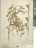 view Mimosa guatemalensis (Hook.) Benth. digital asset number 1