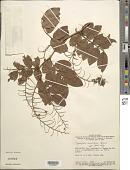 view Copaifera cordifolia Hayne digital asset number 1