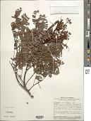 view Dimorphandra macrostachya subsp. macrostachya digital asset number 1