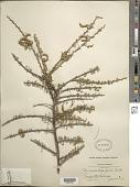 view Mimosa depauperata Benth. digital asset number 1