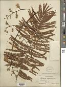 view Leucaena esculenta (Moc. & Sessé ex DC.) Benth. digital asset number 1